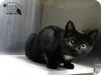 Domestic Shorthair Kitten for adoption in Marlinton, West Virginia - Kimber