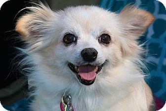Pomeranian Mix Dog for adoption in Fountain Valley, California - Jewel