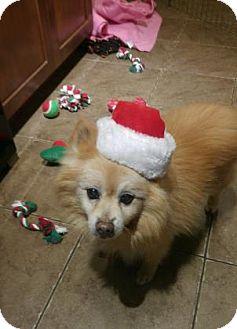 Pomeranian Mix Dog for adoption in Flagstaff, Arizona - Rambo