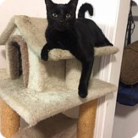 Domestic Shorthair Cat for adoption in Anchorage, Alaska - Kinky