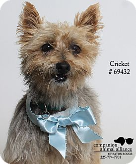Cairn Terrier Mix Dog for adoption in Baton Rouge, Louisiana - Cricket  (Foster Care)
