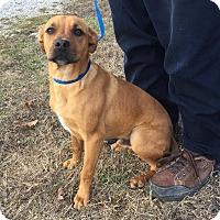 Adopt A Pet :: Romeo - Harrisonburg, VA