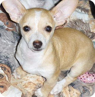 Chihuahua/Dachshund Mix Puppy for adoption in Phoenix, Arizona - Cholla