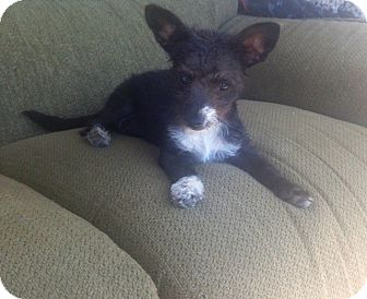 Terrier (Unknown Type, Small)/Chihuahua Mix Puppy for adoption in Oceanside, California - Pia