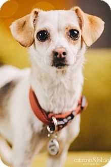 Jack Russell Terrier/Dachshund Mix Dog for adoption in Portland, Oregon - Athena