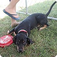 Adopt A Pet :: Tara - Pocahontas, AR