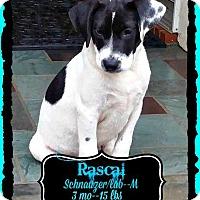 Adopt A Pet :: Rascal 1 - East Hartford, CT