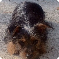 Adopt A Pet :: Malcolm - Fairview Heights, IL