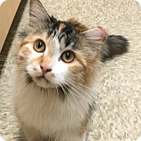 Adopt A Pet :: Sunshine - Scottsdale, AZ