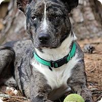 Cattle Dog Mix Dog for adoption in Marietta, Georgia - Skye