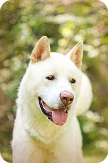 Akita Dog for adoption in Toms River, New Jersey - Toshi
