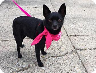 Schipperke Mix Dog for adoption in Dallas, Texas - Minnie Mae Schipperke