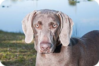 Weimaraner Puppy for adoption in Loxahatchee, Florida - Raven