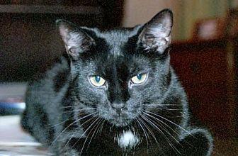 Domestic Shorthair Cat for adoption in San Antonio, Texas - Precious Purring Panther