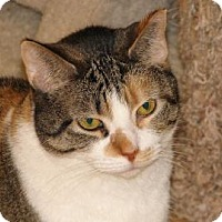 Domestic Shorthair Cat for adoption in Woodstock, Illinois - Gypsy