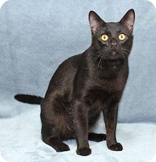 Domestic Shorthair Cat for adoption in Encinitas, California - T. D. Handsome