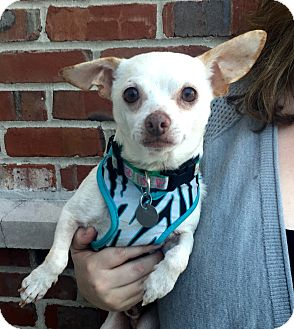 Chihuahua Mix Dog for adoption in Summerville, South Carolina - Sammie