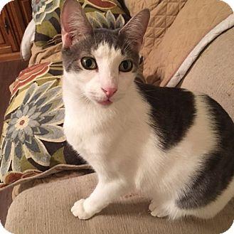 Domestic Shorthair Cat for adoption in Houston, Texas - Klinger