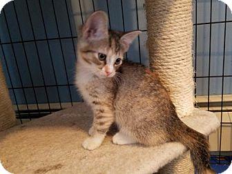 Domestic Shorthair Kitten for adoption in Shakopee, Minnesota - Dory C1554