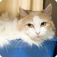 Adopt A Pet :: Summer - Apache Junction, AZ