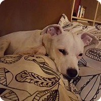 Adopt A Pet :: Tulip - Seahurst, WA
