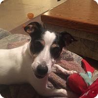 Jack Russell Terrier Dog for adoption in Blue Bell, Pennsylvania - JJ