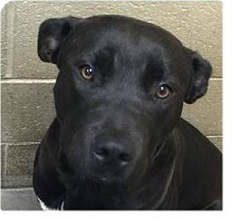 Pit Bull Terrier/Labrador Retriever Mix Dog for adoption in Springdale, Arkansas - Jake