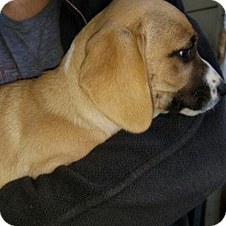 Retriever (Unknown Type)/Basset Hound Mix Puppy for adoption in Lakeport, California - 9 Ruby