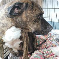 Adopt A Pet :: Lacey - springtown, TX