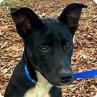 Adopt A Pet :: Shadow - Harrisonburg, VA