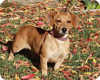 Dachshund Mix Dog for adoption in San Jose, California - Endie