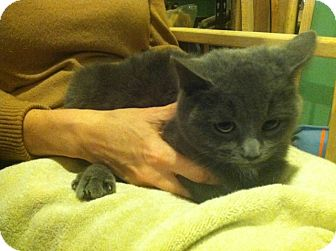 Domestic Shorthair Cat for adoption in Chicago, Illinois - Eevie
