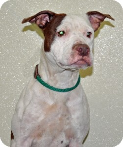 Pit Bull Terrier Mix Dog for adoption in Port Washington, New York - Sandy