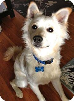 Spaniel (Unknown Type)/Terrier (Unknown Type, Medium) Mix Dog for adoption in San Francisco, California - Duffy