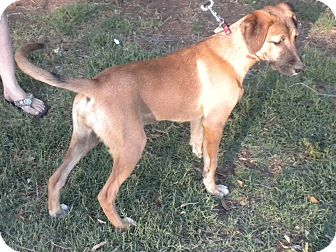 Boxer/Rhodesian Ridgeback Mix Puppy for adoption in Childress, Texas - Gigi
