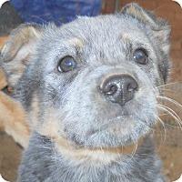Adopt A Pet :: Cowboy - dewey, AZ