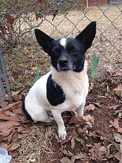 Rat Terrier Mix Dog for adoption in McDonough, Georgia - Gypsy