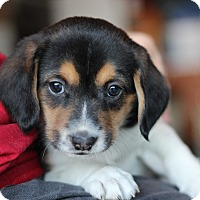 Adopt A Pet :: Cassie's Pup- Skittles - Romeoville, IL