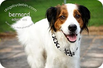 Irish Setter/St. Bernard Mix Dog for adoption in Kansas City, Missouri - Bernard