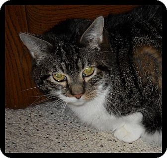 Domestic Shorthair Cat for adoption in Colorado Springs, Colorado - Stars
