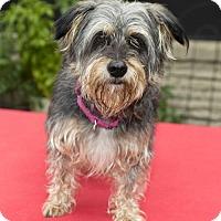 Adopt A Pet :: Roxie--sweet snuggle bunny-N - Alvin, TX