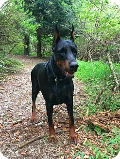 Doberman Pinscher Dog for adoption in Bath, Pennsylvania - Boka