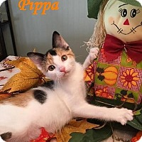 Adopt A Pet :: Pippa - Sweetie! - Huntsville, ON