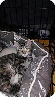 Domestic Shorthair Kitten for adoption in Alamo, California - Buttercup