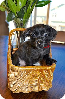 Chihuahua/Terrier (Unknown Type, Small) Mix Puppy for adoption in DeForest, Wisconsin - Biscuit