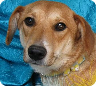 Beagle/Labrador Retriever Mix Dog for adoption in Cuba, New York - Zelea