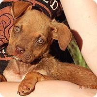 German Shepherd Dog/English Bulldog Mix Puppy for adoption in Burlington, Vermont - Warrior (5 lb) Video!
