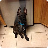 Adopt A Pet :: Puppy QT Pie - Brattleboro, VT
