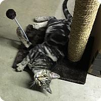 Adopt A Pet :: Dapple - Butner, NC