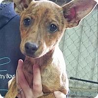 Adopt A Pet :: Misty - Macomb, IL